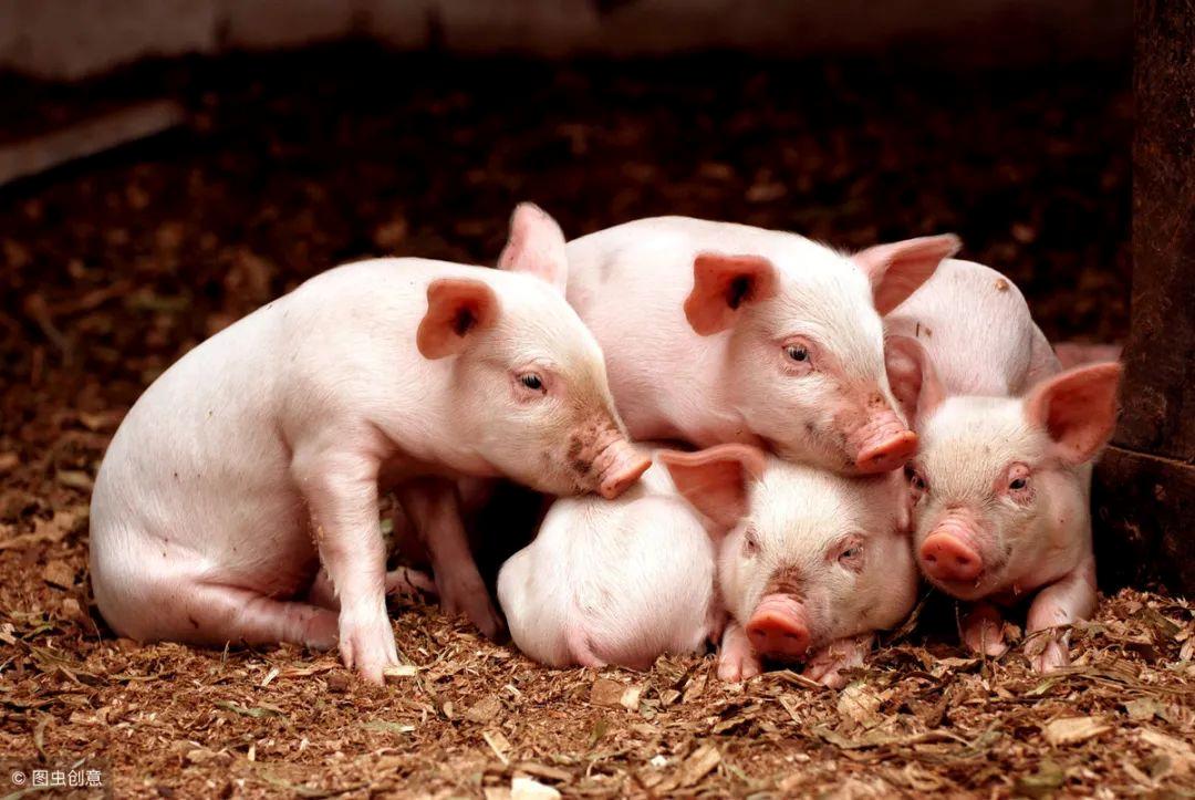 冬季猪舍保温有窍门,做好这三步,轻松解决保温难题!