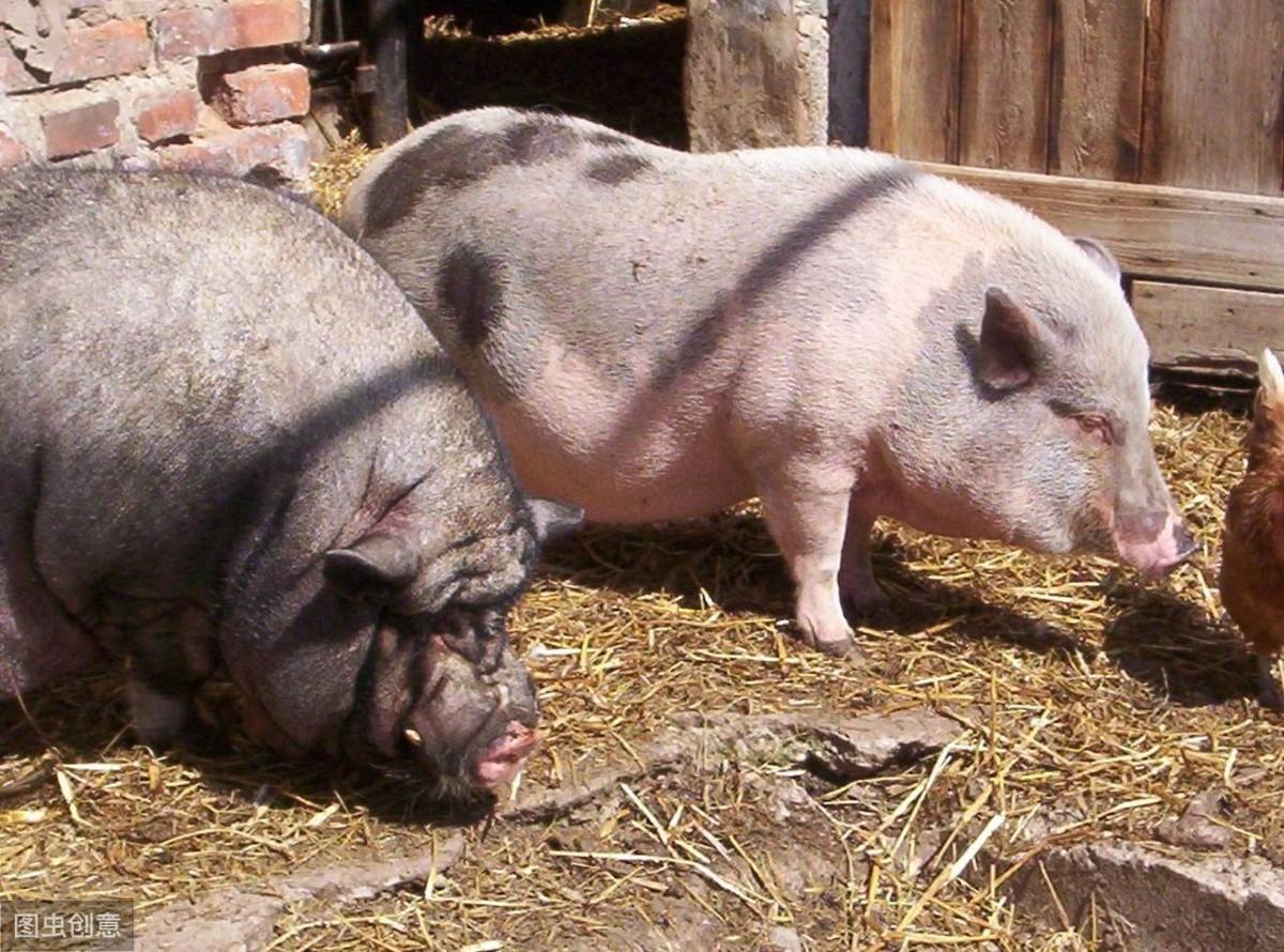 母猪不发情怎么办?10个解决方法,总有一个适合你猪场!