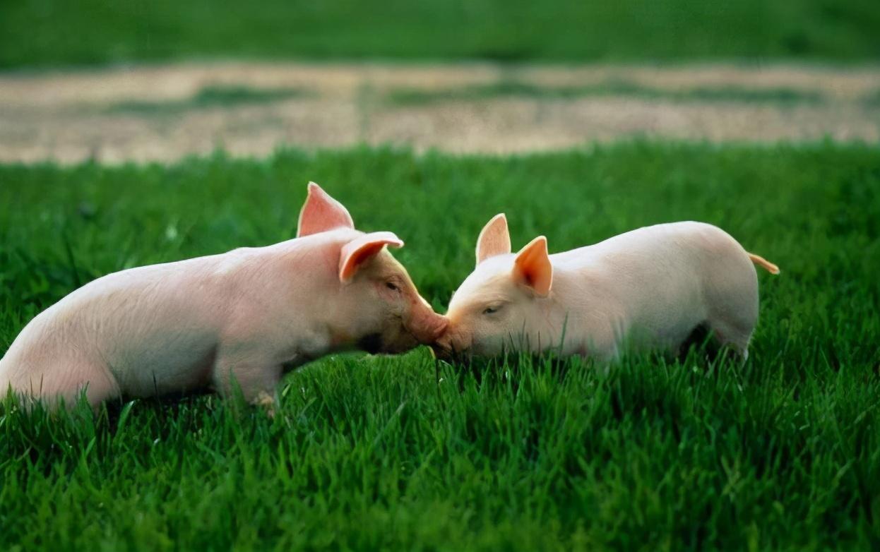 2月3日20公斤仔猪价格,仔猪供应仍偏紧,仔猪价格涨幅近3倍