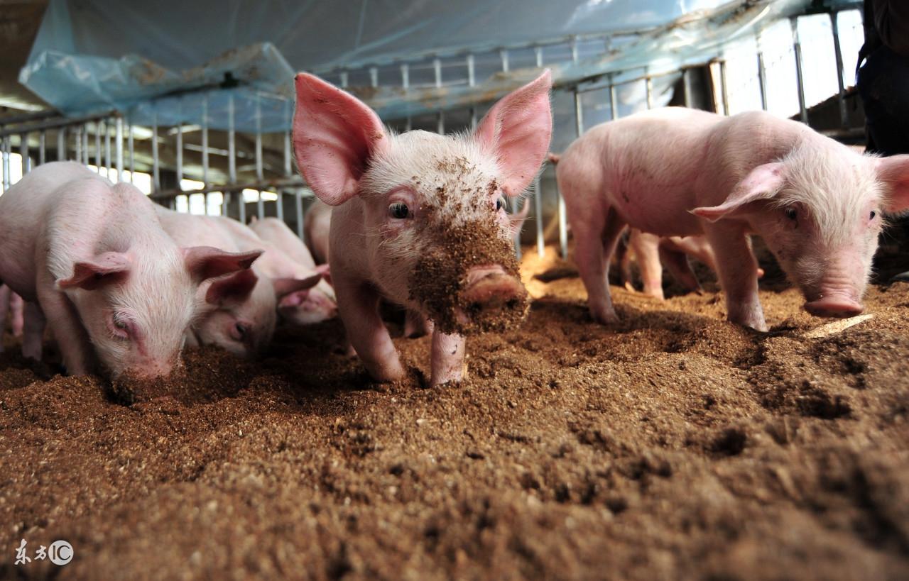 做好猪场日常管理和饲料管理,让猪长得又大又好