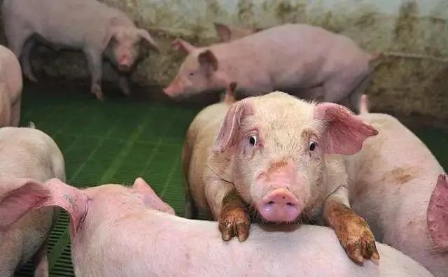 """""""林可霉素""""好用又便宜,却常被猪场所忽视,一问告诉你4个用法"""
