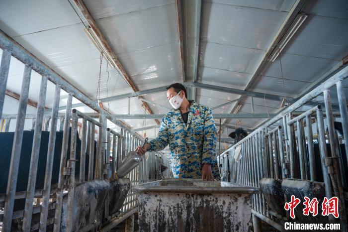 西藏林芝:藏猪产业走上标准化、产业化之路