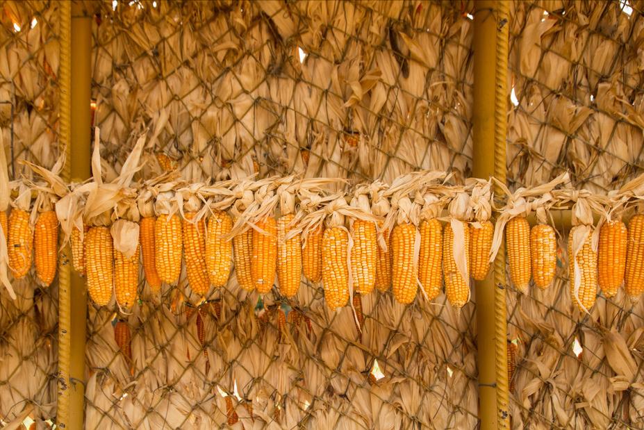 2月5日饲料原料:豆粕调整期,玉米或有新增长点,你还种吗?