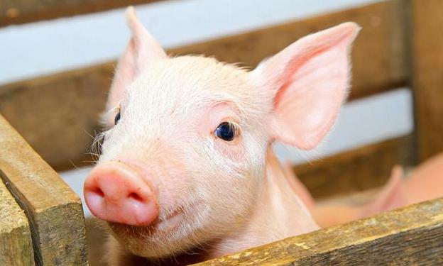 学会这4个仔猪饲喂管理方法,让你的仔猪成活率达到100%