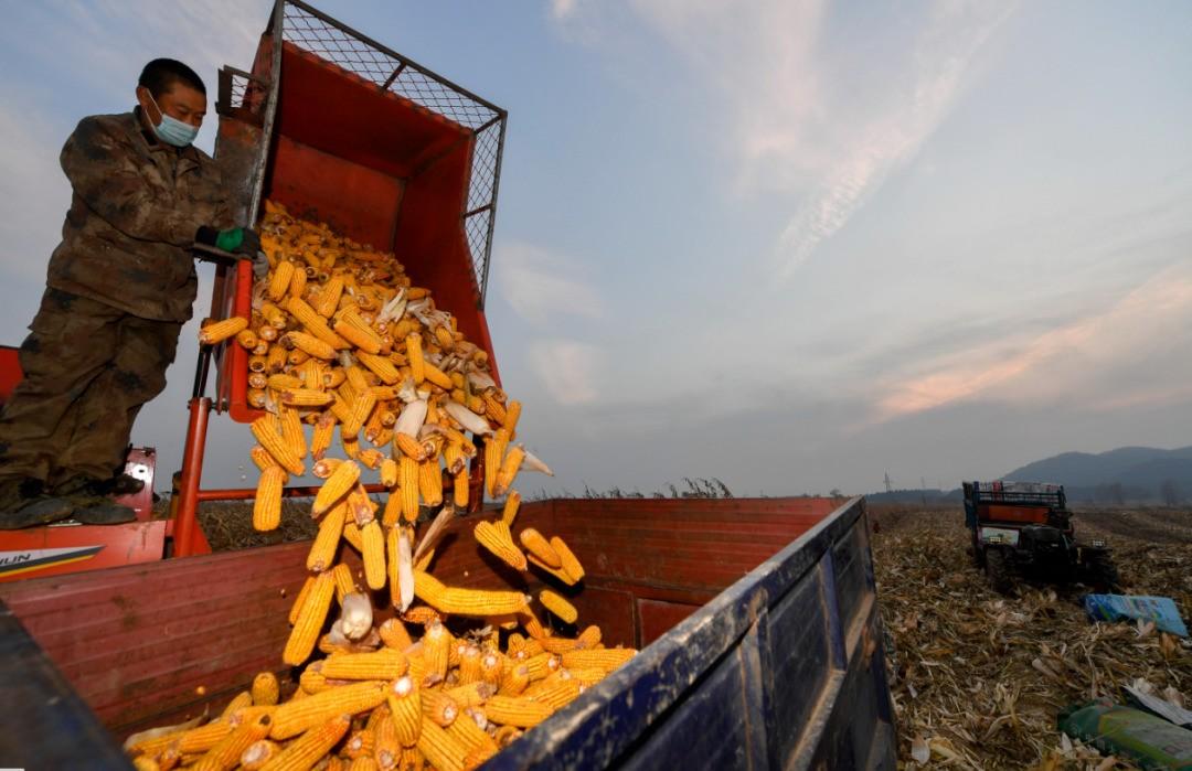 """2月6日饲料原料:豆粕短期""""气虚"""",玉米持粮主体提价意愿明显"""