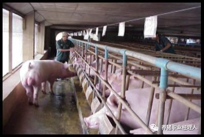 完整的母猪发情鉴定技术,确保母猪的最佳输精时间!
