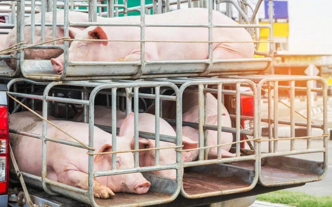 2月6日生猪价格:疫病抛售、屠企压价,猪价加速探底!年前15元猪价还能保住吗?