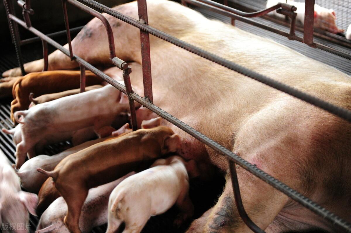 现代猪场管理的5大指标你都了解吗?猪场想经营得好,离不开它们
