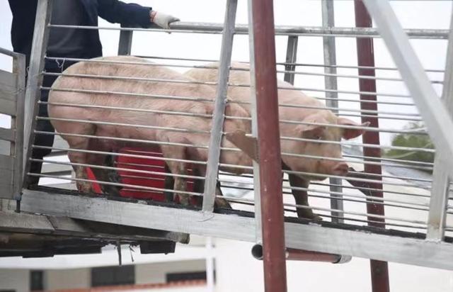 首批种猪进场!已完成配种,于2月底陆续产仔