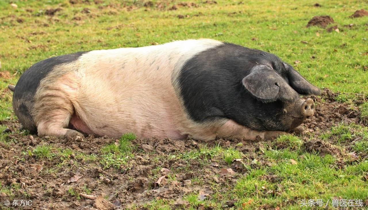 养猪常见病的治疗方法——一个老兽医一辈子的珍藏经验!