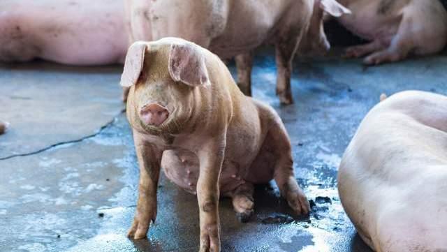 猪价下降被实锤,未来三年3种养猪户恐被淘汰,希望没有你