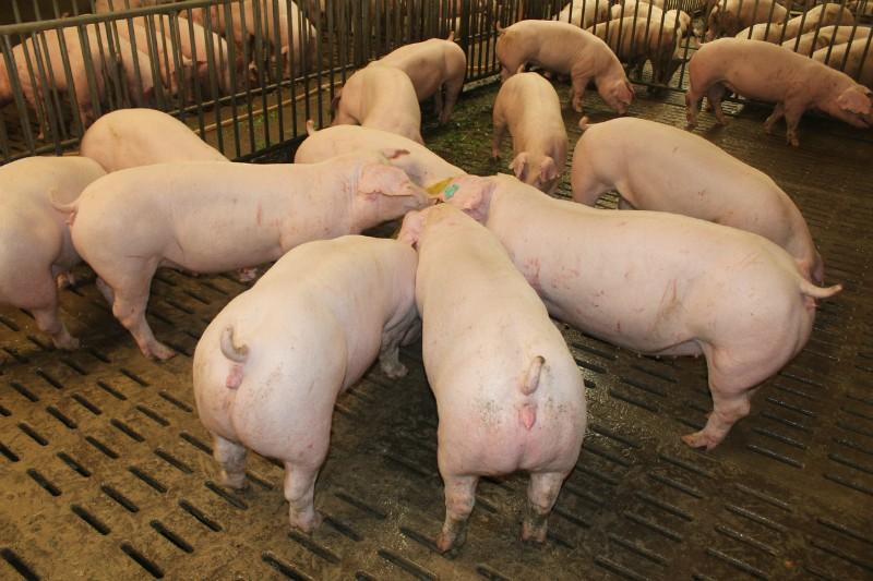 2021年02月07日全国各省市种猪价格报价表,三元母猪的使用比例依旧比较高,母猪更换是2021年猪场主要工作之一