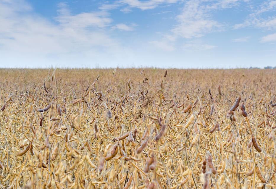 """2月7日饲料原料:豆粕跌幅收窄,年前玉米市场""""降温""""结束?"""