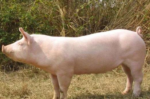 发改委2月第1周数据:每头猪利润再次跌破千元,养鸡又亏钱了