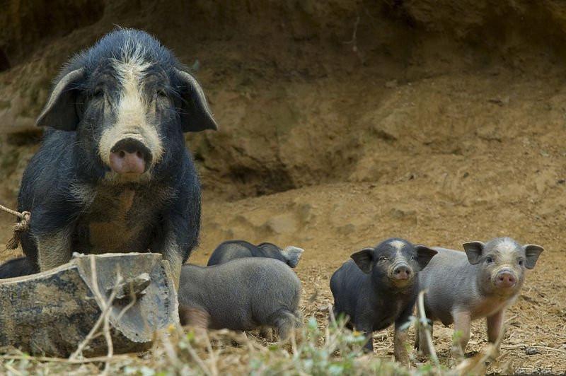 非瘟再度来袭,节后可能出现断档,短期利好猪价!
