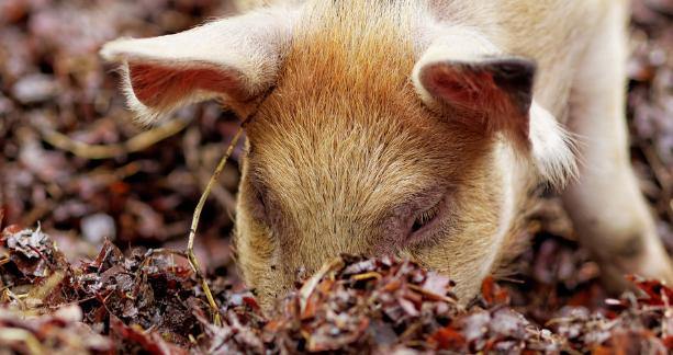 """期盼猪价""""稳起""""散户掀复产扩能潮!专家:2021年猪价下行是大概率事件,养殖户需注意防范风险"""