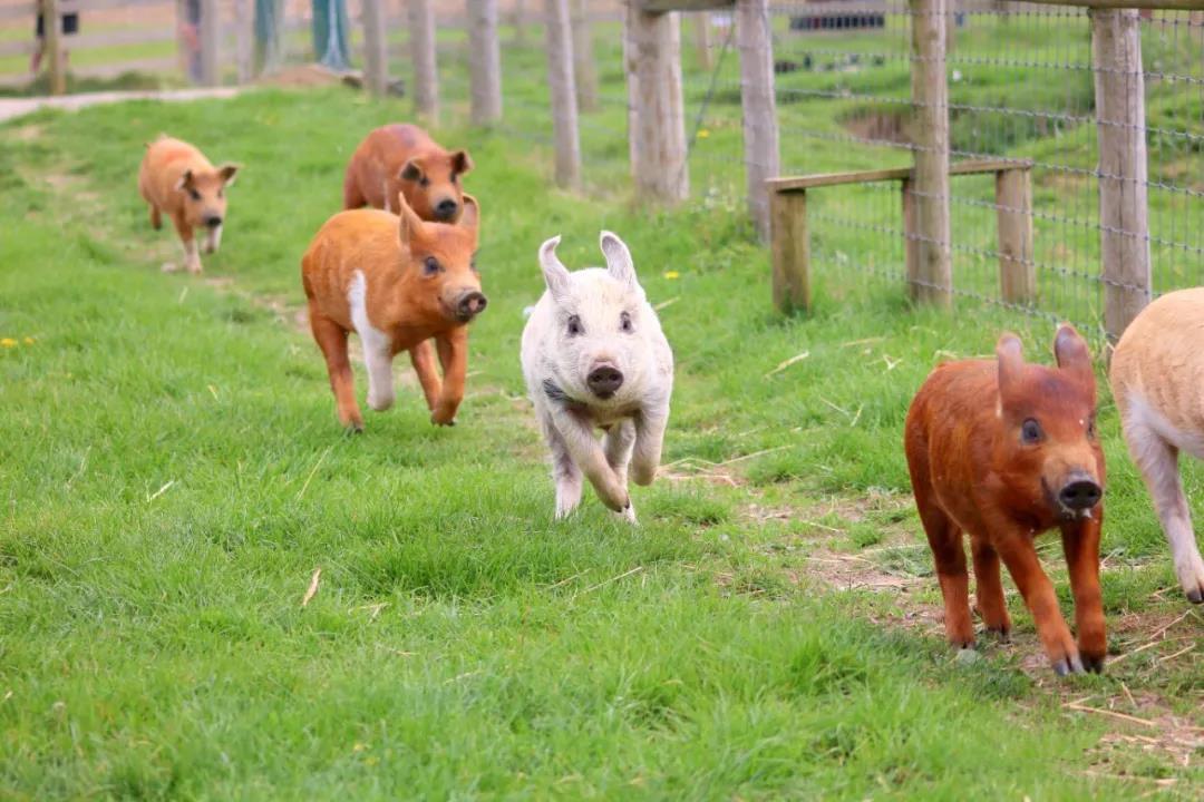 """干货分享:猪场常见的三种""""毒素""""的防治"""