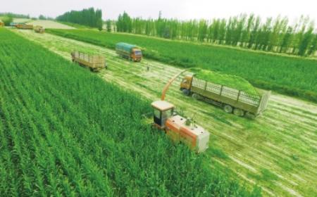 """谨防""""人畜争粮""""影响口粮安全,稻谷小麦替代玉米做饲料非长久之策"""