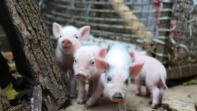 """生猪疫苗全线反弹,乙脑疫苗批签发数量同比增131%!行业进入""""长坡赛道""""?"""