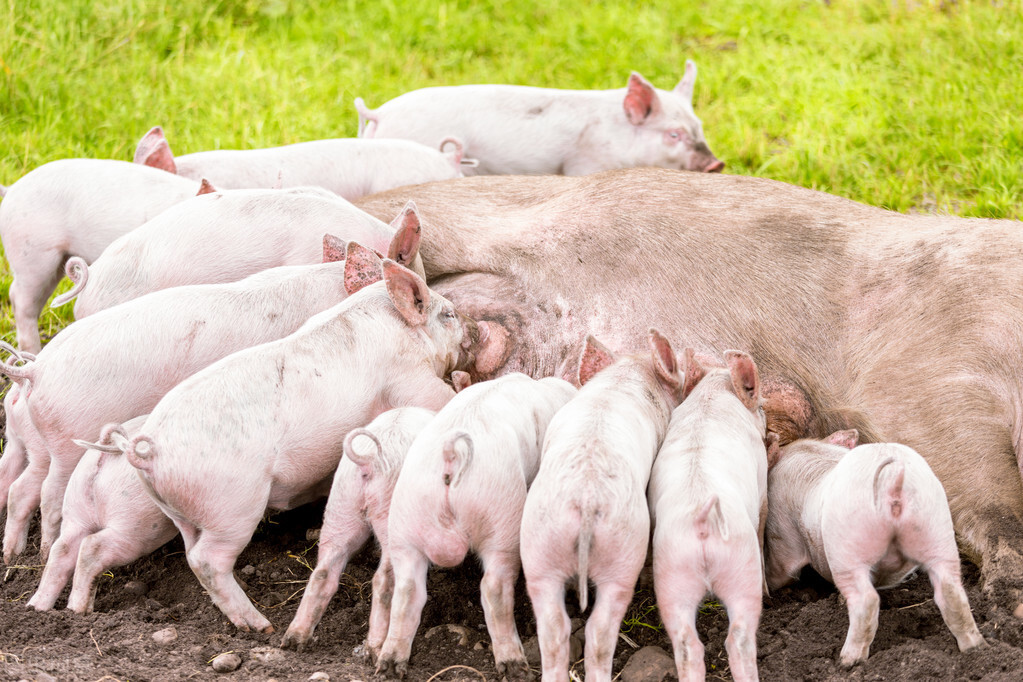 注意了!怀孕母猪吃小猪料,繁殖性能会降低