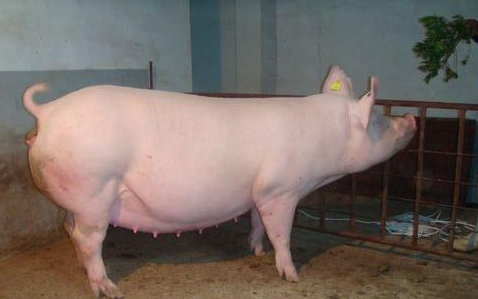 2021年02月18日全国各省市种猪价格报价表,2021年母猪依然紧俏,尤其是优质二元母猪成为猪场之间核心竞争力!
