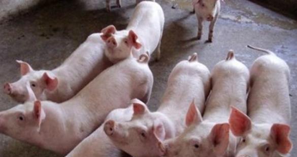 如何才能让猪快速长膘?猪的育肥饲喂的方法,这几项一定要注意