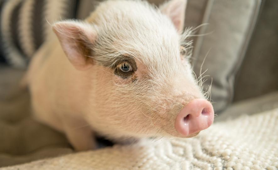 """2月19日20公斤仔猪价格:猪价猛跌,仔猪行情存在""""虚高""""嫌疑?"""