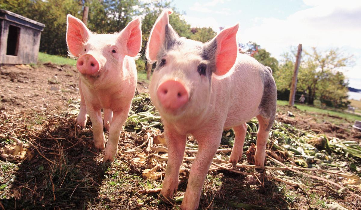 春节期间,猪价大涨后大跌,2021年,猪价将会是怎样的走势?