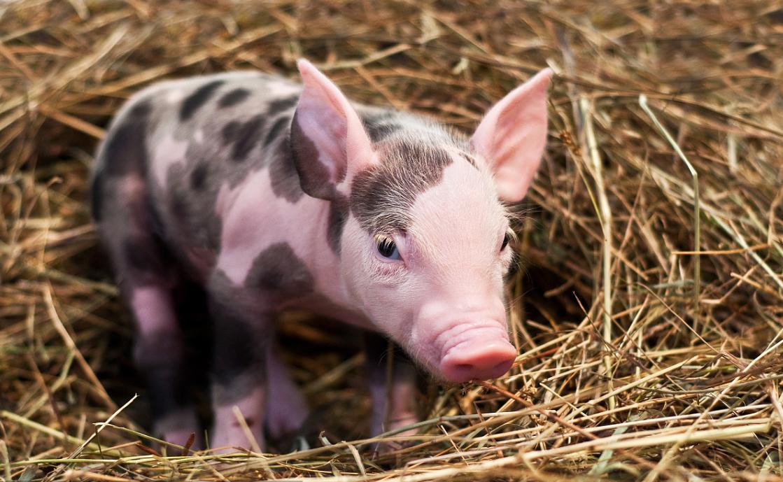 2021年02月19日全国各省市20公斤仔猪价格行情报价,母猪淘汰加剧仔猪供给依旧紧俏,养殖户多持客观情绪