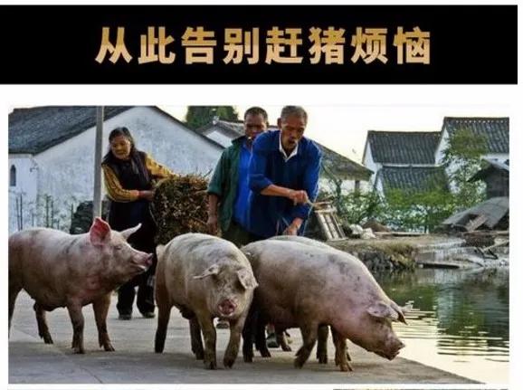 """猪场赶猪也有大技巧,9个""""窍门""""让你的猪群乖乖听话"""