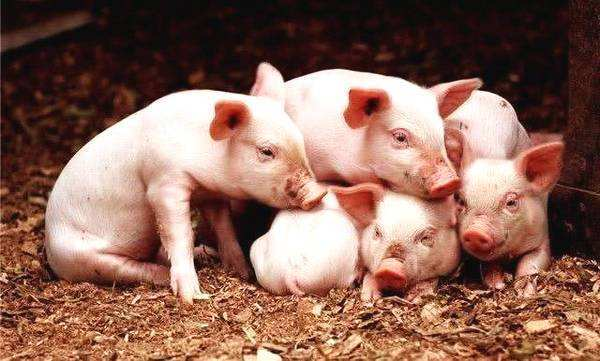 怎样判断养猪水平?通过看8周龄仔猪体重和这九个标准精确评估!
