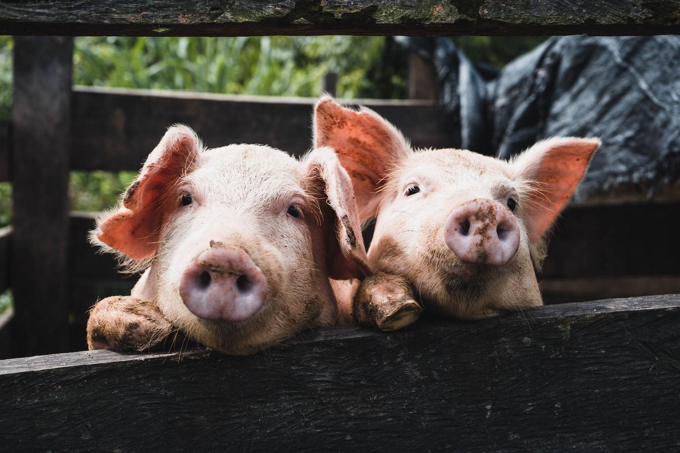非洲猪瘟病毒变异,澳洲兽医官称可能是使用非法疫苗所致