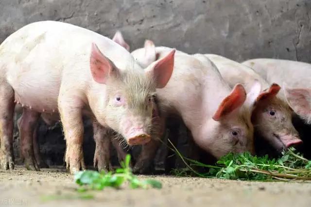 母猪奶水差,仔猪长得慢?这3个方法应该能帮你解决问题