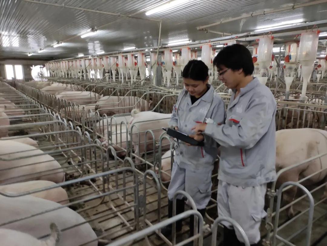 """太和种猪场:新人""""特训营"""",分组工作 提高生产效率!"""