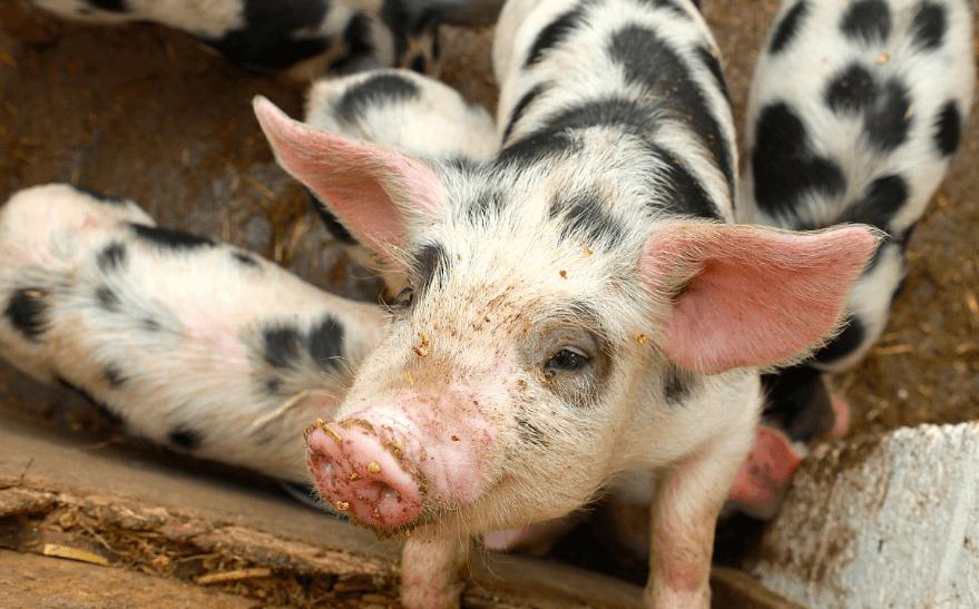 """2021年02月21日全国各省市15公斤仔猪价格行情报价,仔猪价格""""虚高"""",外购的养殖户谨防回调风险!"""