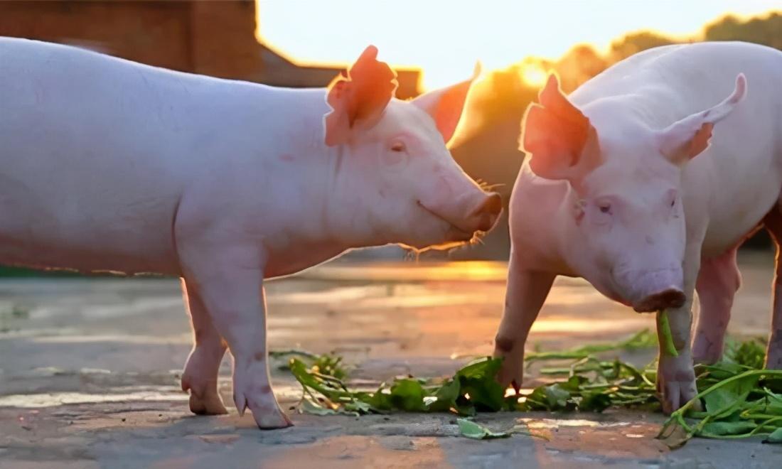 """又是一片""""绿""""!南北猪价跌势""""互不相让"""",生猪抛售还在继续?"""