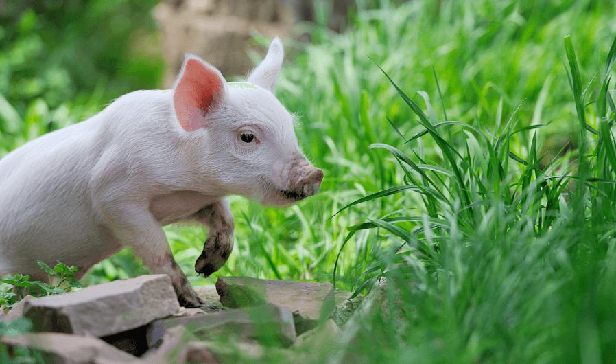 2021年02月21日全国各省市20公斤仔猪价格行情报价,受后期补栏影响,春节后仔猪还能涨?