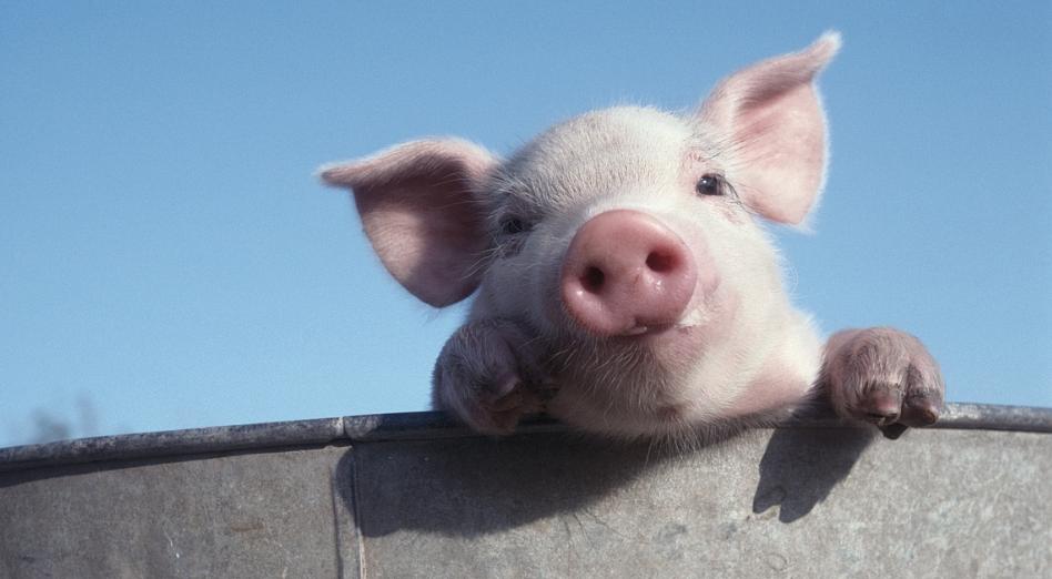 猪肉股掀涨停潮,春节后仔猪价格仍将上涨,后市有补栏高峰期!