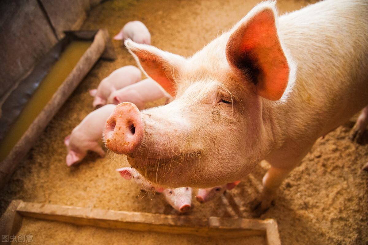 如何给猪快速催肥?改善饲料配方,这个中草药配方很有用!