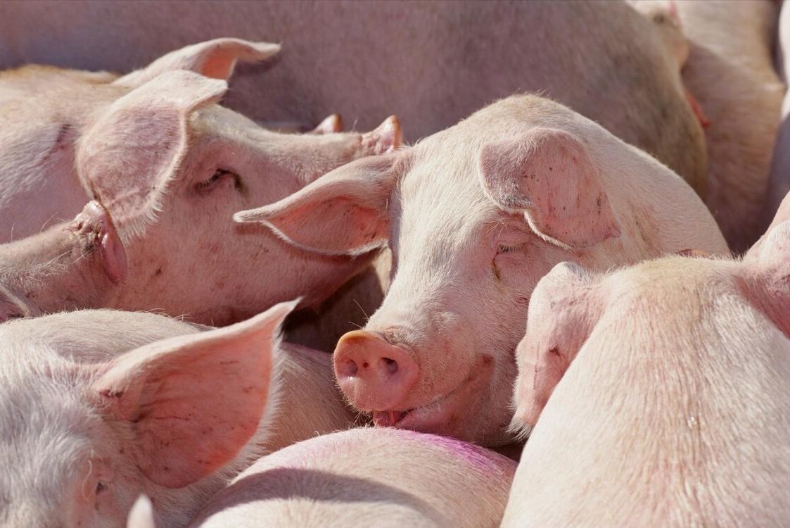 """生猪价格陷入下跌潮!或造成""""缺猪""""后遗症,猪价还有反弹余地?"""