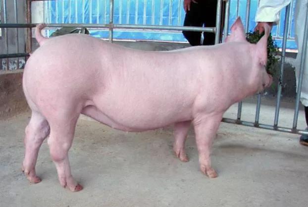 猪场激素用的好,母猪发情产仔差不了!