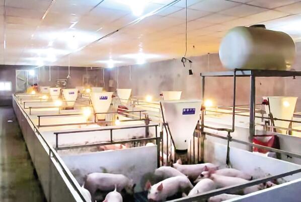 生猪养得好 村民也受益