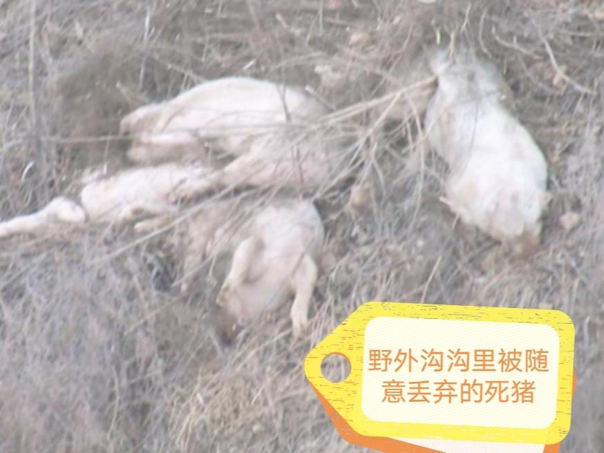 新疆再现非瘟疫情,为何这家伙总能春风吹又生?是天灾还是人祸?