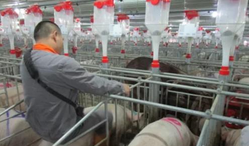 后备母猪配种8大细节,你注意到了吗?让猪场业绩蹭蹭的涨!