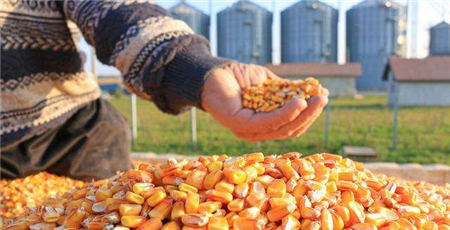 一号文件关于玉米市场的解析: 玉米市场供给有保障,后市价格上涨有限!