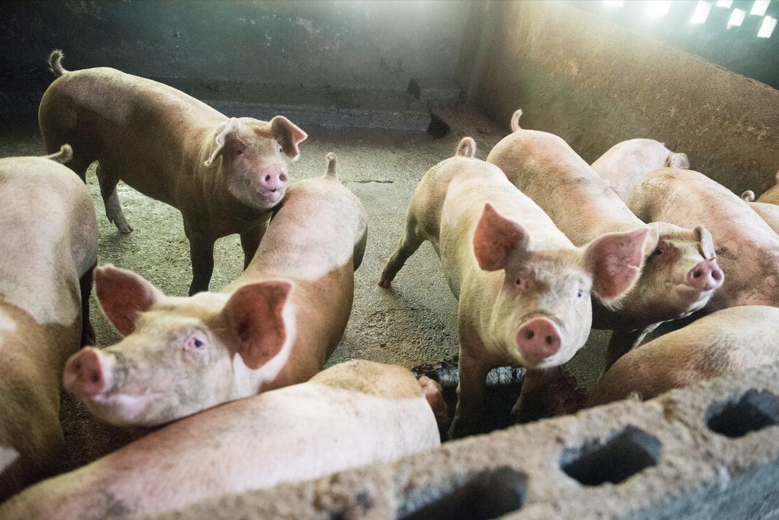 生猪产能恢复超9成以上,这个数据靠不靠谱?看法不一