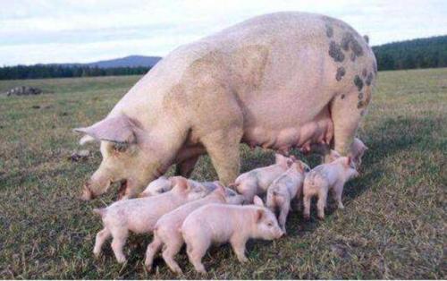 你知道吗?为什么不能用哺乳母猪料来饲养育种公猪
