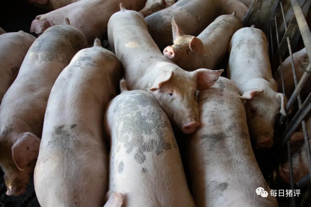 猪价跌了!给养猪户的9大忠告