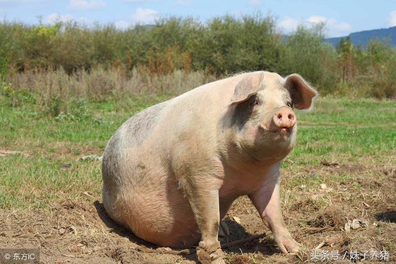 猪场里面的母猪什么时候配种最合适,养猪人告诉你