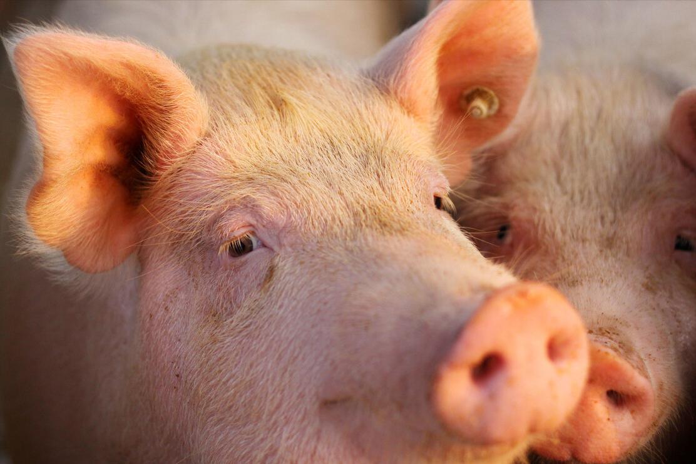"""生猪价格""""岌岌可危"""",是猪多了吗?其实还可能是在释放上涨信号"""